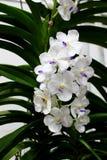 Weiße Motten-Orchideen blühen mit grünem Orchideenblatthintergrund Lizenzfreies Stockfoto
