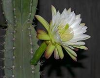 Weiße Nachtblühensäulenkaktus-Kaktus-Blume und Anlage stockfotografie