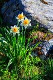 Weiße Narzisse, die auf dem Abhang wild wächst Stockfotos