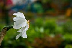 Weiße Narzissen blühen das Blühen an einem windigen Frühlingstag stockbild