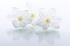 Weiße Narzissen-Blumen Lizenzfreies Stockbild