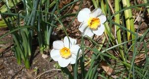 Weiße Narzissen in einem Garten stock footage