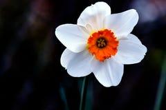 Weiße Narzissen-Orangen-Trompete stockfoto