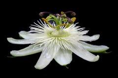 Weiße Neigungs-Blume stockbild