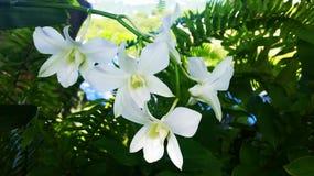 Weiße Obstgärten Stockfoto