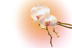 Weiße Orchidee Lizenzfreie Stockfotografie