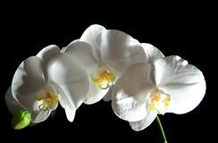 Weiße Orchidee. Lizenzfreie Stockfotos