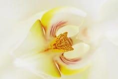 Weiße Orchidee lizenzfreie stockfotos