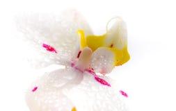 Weiße Orchidee Stockfotografie