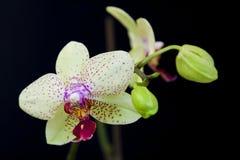 Weiße Orchidee Stockbild
