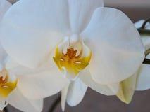Weiße Orchidee, Abschluss oben Stockfotos