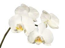 Weiße Orchidee auf dem weißen Hintergrund Stockfotos
