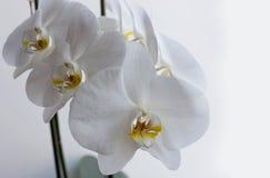 Weiße Orchidee auf einem Fensterbretthintergrund Stockbilder
