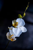 Weiße Orchidee auf einem schwarzen Hintergrund Lizenzfreie Stockfotos