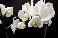 Weiße Orchidee auf einem schwarzen Hintergrund lizenzfreie stockbilder