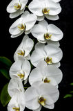 Weiße Orchidee auf Schwarzem Stockfotografie