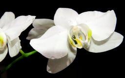 Weiße Orchidee auf schwarzem Hintergrund Lizenzfreies Stockfoto