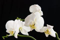 Weiße Orchidee auf schwarzem Hintergrund Lizenzfreie Stockfotos