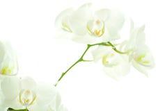 Weiße Orchidee auf Weiß. Lizenzfreie Stockfotos