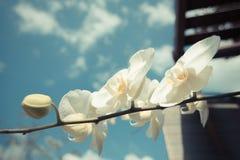 Weiße Orchidee blüht mit Weinleseart des blauen Himmels Stockfotos