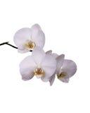 Weiße Orchidee getrennt Stockfotografie