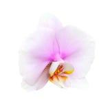 Weiße Orchidee getrennt auf Weiß Stockfotografie