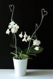 Weiße Orchidee im Topf Stockfoto