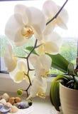 Weiße Orchidee im Topf auf Fensterbrett Stockfotos