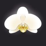 Weiße Orchidee lokalisiert auf einem schwarzen Hintergrund Stockfoto