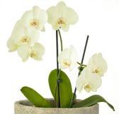Weiße Orchidee lokalisiert auf einem weißen Hintergrund Stockfotos