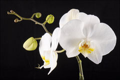 Weiße Orchidee mit dem Knospenblühen Stockfoto