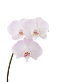 Weiße Orchidee mit Purpur Stockfoto