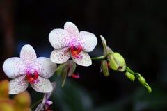 Weiße Orchidee mit rosafarbenen Punkten Stockbilder