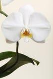 Weiße Orchidee - Phalaenopsisblumennahaufnahme Lizenzfreies Stockfoto
