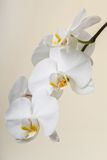 Weiße Orchidee - Phalaenopsisblumennahaufnahme Stockfoto