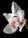 Weiße Orchideeblume auf Schwarzem Stockbild