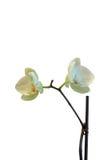 Weiße Orchideeblumen Lizenzfreie Stockfotos