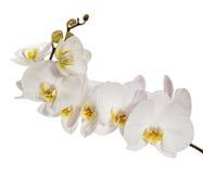 Weiße Orchideeblumen Stockfoto
