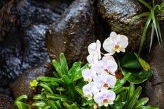 Weiße Orchideen über Wasserfall Stockfoto