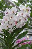Weiße Orchideen Lizenzfreie Stockfotografie