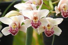 Weiße Orchideen Stockfotos