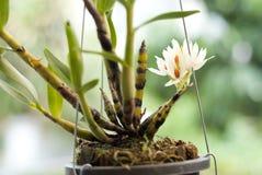 Weiße Orchideen Lizenzfreie Stockfotos