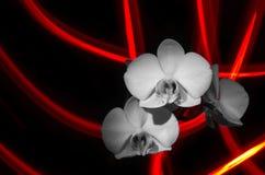 Weiße Orchideen auf einem Hintergrund des hellen Streifens Lizenzfreies Stockfoto