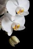 Weiße Orchideen auf schwarzem Hintergrund Lizenzfreies Stockfoto