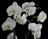 Weiße Orchideen lokalisiert auf schwarzem Hintergrund Stockbilder