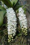 Weiße Orchideen, Rhynchostylis-gigantea Lizenzfreies Stockfoto
