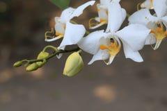 Weiße Orchideenanlage Stockfotografie