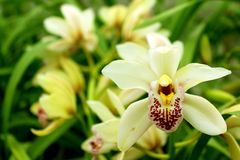 Weiße Orchideenblume Stockfoto