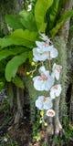Weiße Orchideenblume Stockfotografie