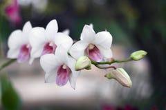 Weiße Orchideenblume im Gartenhintergrund, weiße Blume Stockbilder